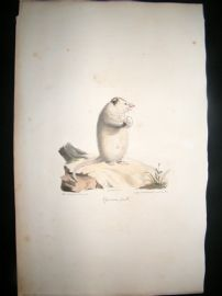 Saint Hilaire & Cuvier C1830 Folio Hand Colored Print. Female Opossum